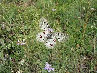 Gran Sasso e Monti della Laga National Park - Apollo butterfly of the Gran Sasso mountain