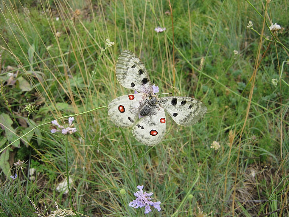 Apollo Butterfly of Gran Sasso