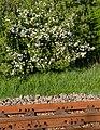 Apple blossoms and railway tracks 1.jpg