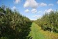 Apple orchard off Winfield Lane - geograph.org.uk - 1572525.jpg