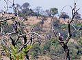 Aquila spilogaster, Percy Fyfe-NR.jpg