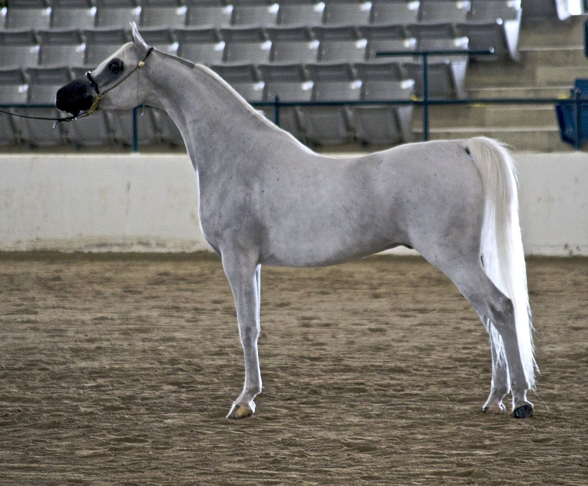 Arabier paard wikipedia for Nederlands voor arabieren
