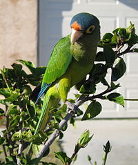 Aratinga canicularis -pet-4-3c