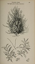 Arboretum et fruticetum britannicum, or - The trees and shrubs of Britain, native and foreign, hardy and half-hardy, pictorially and botanically delineated, and scientifically and popularly described (14597325758).jpg