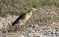 Ardeola ralloides - Squacco heron 02.jpg