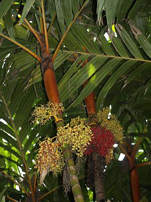 Areca vestiaria - Fruiting specimen