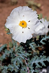 Argemonepolyanthemos1.jpg