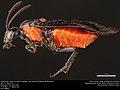 Argid sawfly, Poison Ivy Sawfly (Argidae, Arge humeralis (Pallisot de Beauvois)) (35804785823).jpg