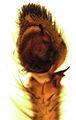 Argoctenus (male palp).jpg