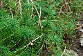 Argyranthenum sundingii 07 04 Philweb (18792451954).jpg