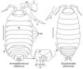 Armadilloniscus ellipticus, Scyphacella arenicola, Oniscidea.png