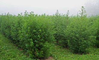 Artemisia (genus) - Artemisia annua