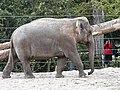 Artis Aziatische Olifant (35709920964).jpg