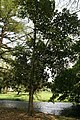 Artocarpus Heterophyllus 04.jpg