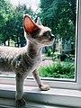 Arwen.the.rex windowsil.jpg