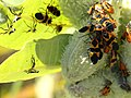 Asclepias syriaca-Oncopeltus fasciatus-pod.jpg