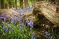 Ashridge Estate Bluebells (8732985234).jpg