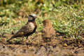 Ashycrowned Finch-Lark & its juvenile kid.jpg