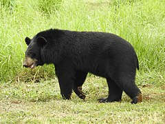 Asian Black Bear Ursus thibetanus by Dr. Raju Kasambe 04.jpg