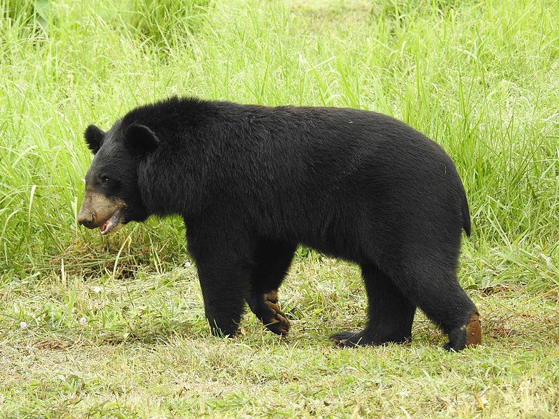 Asian Black Bear Ursus thibetanus by Dr. Raju Kasambe 04.jpg
