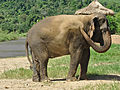 Asian Elephant Dust Bathing.jpg