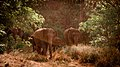 Asian elephants gather.jpg