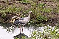Asian openbill foraging at Koshi Tappu wildlife Reserve.jpg