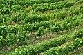 Assmannshausen - The Vineyard - geo.hlipp.de - 27314.jpg
