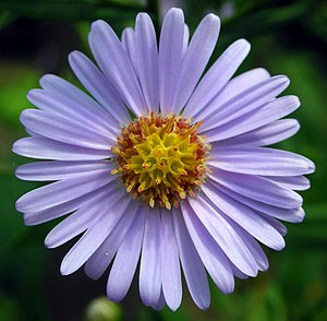 A Aster Tataricus