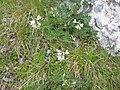 Astragalus alpinus01.jpg