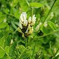 Astragalus cicer-IMG 4809.jpg