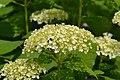 Atlas roslin pl Hortensja ogrodowa 3796 7167.jpg
