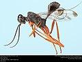 Aulacid wasp (Aulacidae, Pristaulacus spp.) (36599006441).jpg