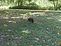 Australian Brush Turkey (Alectura lathami) near the 13 th Green. Nov 2010 - panoramio.jpg