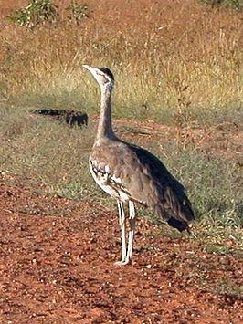 Australische Trap Wikipedia
