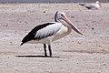 Australian Pelican (Pelecanus conspicillatus) (8079574502).jpg