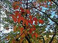 Autumn Tree in Tennessee.jpg