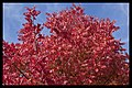 Autumn leaves of Canberra-04 (5856173402).jpg