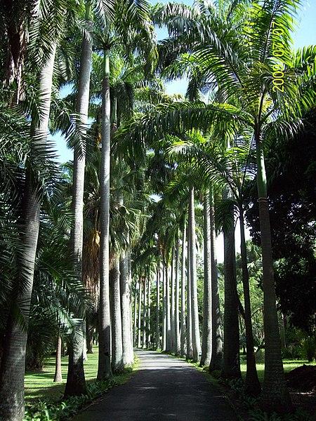File:Avenida de Roystonea oleracea en Jardín Botánico de Caracas.jpg