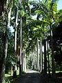 Avenida de Roystonea oleracea en Jardín Botánico de Caracas.jpg