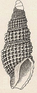 <i>Awateria optabilis</i> Species of mollusk