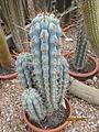 Azureocereus hertingianus (3779489014).jpg