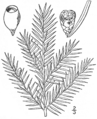 BB-0158 Taxus canadensis.png
