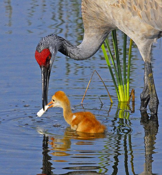 File:Baby Crane with Breakfast - Flickr - Andrea Westmoreland.jpg