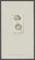 Balanus decussatus - - Print - Iconographia Zoologica - Special Collections University of Amsterdam - UBAINV0274 101 02 0028.tif