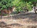 Bandhavgarh deer.jpg
