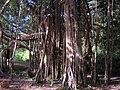 Banyan tree Bangka.jpg