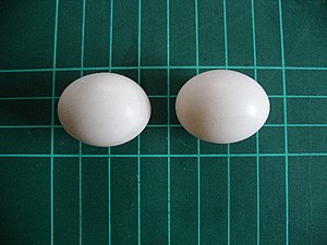 Barbary Dove (Streptopelia risoriaeggs) eggs. ...