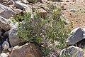 Barleria prionitis-1753 - Flickr - Ragnhild & Neil Crawford.jpg