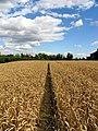 Barley Field near Stanmore - geograph.org.uk - 33279.jpg